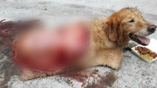 Vết thương nghiêm trọng của chú chó.