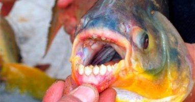 Loài cá săn tinh hoàn người xuất hiện ở Nga