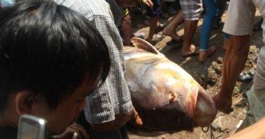 Bắt được cá hô nặng gần 130 kg ở Sài Gòn