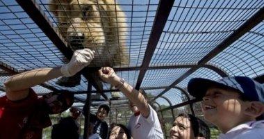 Thót tim với tour du lịch... sờ sư tử