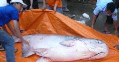 """""""Thủy quái"""" - cá tra dầu gần 230kg về TP HCM"""