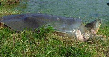 'Cụ' rùa hồ Gươm khỏe mạnh sau 3 năm điều trị