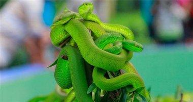 Đuổi theo rắn lục cắn mình, một phụ nữ suýt mất mạng
