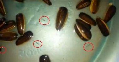 Đi tìm lời giải cho hiện tượng sinh vật lạ xuất hiện trong hạt hướng dương