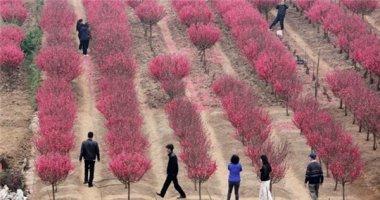 Vườn đào Nhật Tân đỏ rực những ngày giáp Tết