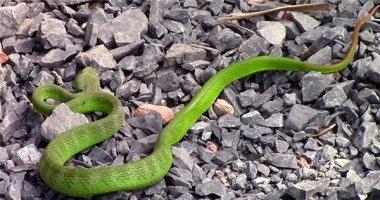 Cận cảnh rắn lục đuôi đỏ xuất hiện liên tục ở TP. HCM