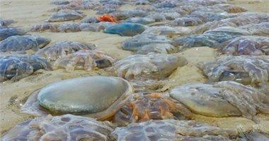 """Hãi hùng cảnh tượng hàng ngàn con sứa """"quái vật"""" trôi dạt vào bờ"""