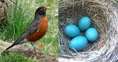 Ngạc nhiên với loài chim đẻ ra trứng màu xanh