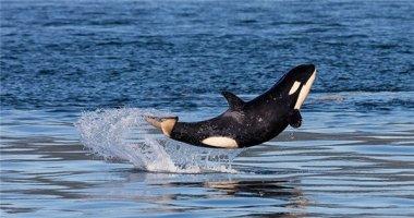 Phát cuồng với bé cá voi sát thủ siêu dễ thương