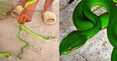 Thực hư tin đồn đối tượng xấu thả rắn lục đuôi đỏ hại người