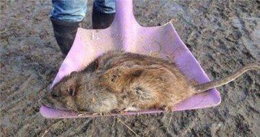 Khiếp đảm chuột khổng lồ gây phiền phức ở Anh