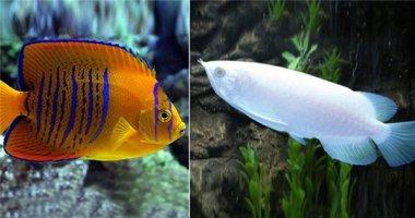 """""""Té ngửa"""" trước những chú cá nhiệt đới đắt-hơn-vàng"""