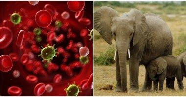 Phát hiện bí quyết ngăn ngừa ung thư ở người từ loài voi?
