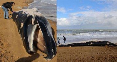 Phát hiện xác cá voi lưng xám 11 mét dạt vào bờ