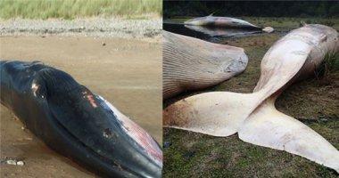 Số lượng cá voi chết tập thể lớn nhất từ trước tới nay khiến-nhiều-người-lo-lắng