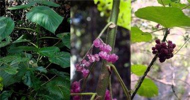 """Kì lạ loài cây đẹp nhưng cực độc khiến con người """"sống-không-bằng-chết"""""""