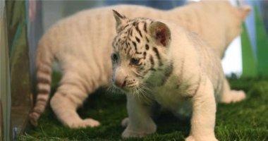 Ra đời cặp hổ trắng tự nhiên cực kì quý hiếm