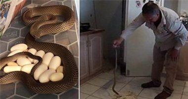 Dọn nhà, tá hỏa khi thấy rắn cực độc ấp trứng... dưới gầm tủ lạnh