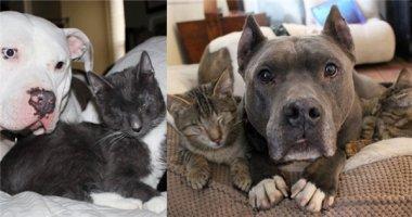 """Cảm động hai chú chó Pit Bull """"làm mẹ nuôi"""" của bộ ba mèo mù"""