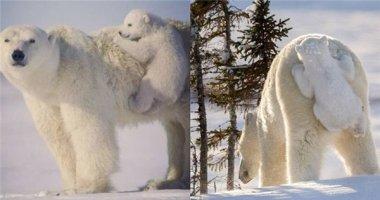 """Gấu Bắc cực con """"bám mông"""" mẹ siêu đáng yêu khiến tim bạn tan chảy"""