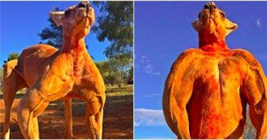 """Ghen tị với cơ bắp cuồn cuộn của """"chàng soái ca"""" kangaroo"""