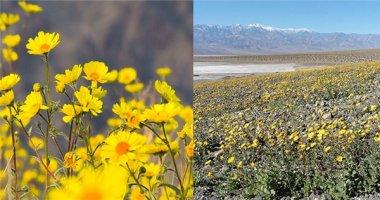 Chuyện lạ: Trăm hoa bỗng dưng đua nở trên sa mạc khô cằn