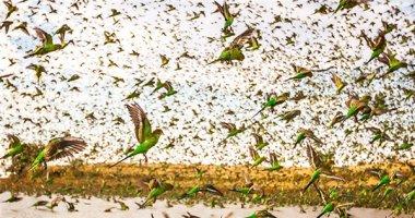 Nghẹt thở trước cảnh tượng 80.000 con chim phủ rợp bầu trời