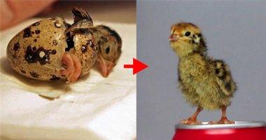 Không thể tin nổi: Ấp trứng cút, nở ra... gà con