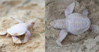 Sửng sốt khi phát hiện rùa con bạch tạng hiếm thấy trên bãi biển