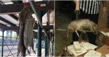Cận cảnh chuột khổng lồ nặng hơn nửa kí ai cũng hết hồn