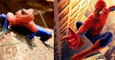 Thích thú với loài thằn lằn giống hệt người nhện