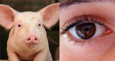 Chàng trai mù đã sáng mắt trở lại nhờ được ghép giác mạc lợn