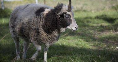 Cô cừu 16 tuổi có 1 sừng độc nhất vô nhị