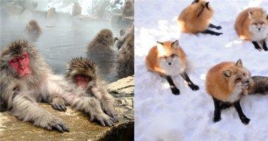 Đảo mèo, làng cáo, suối khỉ chỉ có ở xứ sở hoa anh đào