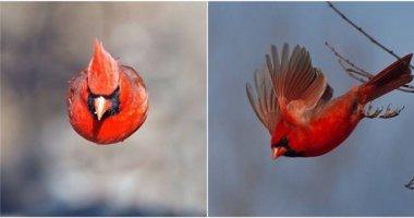 """Chộp được """"Angry Bird"""" ngoài đời thực"""