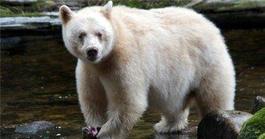 Chân dung gấu thần linh, loài gấu không ai dám mạo phạm