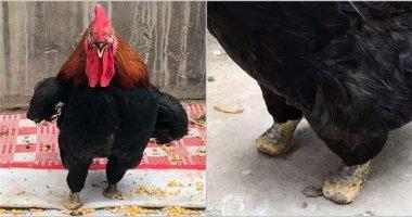 Không thể tin nổi điều chú gà trống này đã làm với đôi chân của mình