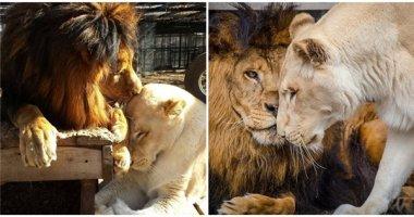 Cảm động câu chuyện cặp đôi sư tử trở về từ cõi chết và yêu nhau