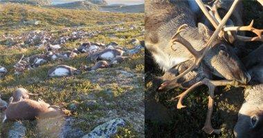 Thảng thốt cảnh tượng hơn 300 con tuần lộc bị sét đánh chết hàng loạt