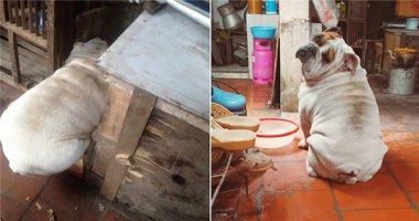 Dân mạng phát cuồng chú chó béo phì mặt mông thích chui rúc xó bếp