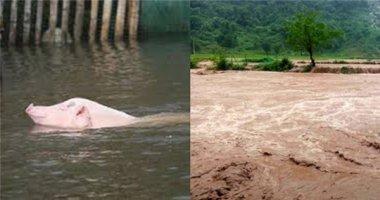 Lao xuống cứu lợn, lái buôn Thanh Hóa bị nước cuốn mất tích