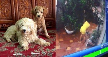 Camera tố cáo người bỏ bả giết hại hai chú chó dã man trong nhà