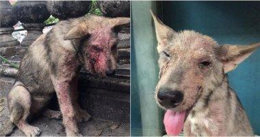Sự hồi phục kì diệu của chú chó lở loét bị bỏ rơi ở ga Long Biên