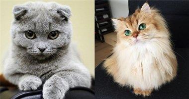 """Cùng chấm điểm 16 đại diện tiêu biểu của """"cuộc thi sắc đẹp"""" loài mèo"""