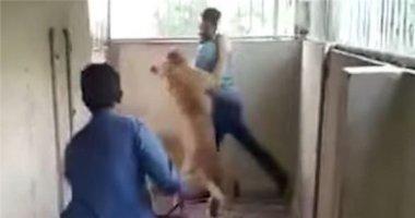 """Cái kết """"đắng"""" cho anh chàng cố gắng kết bạn với sư tử"""