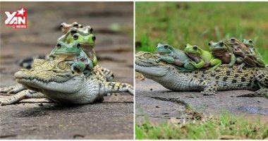 """Cận cảnh bầy ếch """"lười biếng"""" nhờ cá sấu chở qua sông"""