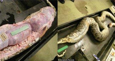 Lo lắng khi phát hiện những thứ nằm trong bụng con trăn khổng lồ