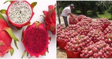 Thanh long Việt Nam sắp được xuất khẩu sang Úc
