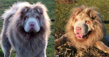 Yêu chết mất bé chó Shar-Pei có hình hài của chú sư tử
