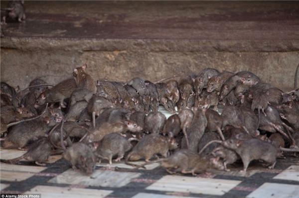 Trong ngôi đền Karni Mata, Ấn Độ, chuột là loài vật nuôi được ưachuộng. (Ảnh: Internet)